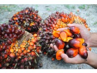 Palmöl zum Kochen, Biodiesel und andere Verwendungen